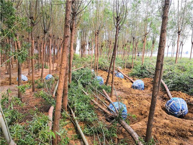 保定綠科園林旱柳種植基地實拍圖片